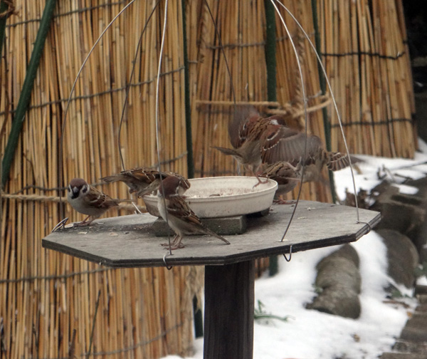 初冬の餌台。ツルバラの実とスズメちゃんなど~~♪_a0136293_16471964.jpg