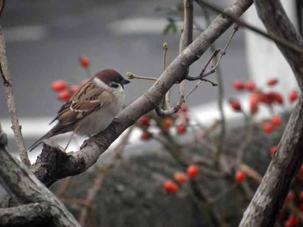 初冬の餌台。ツルバラの実とスズメちゃんなど~~♪_a0136293_1649049.jpg