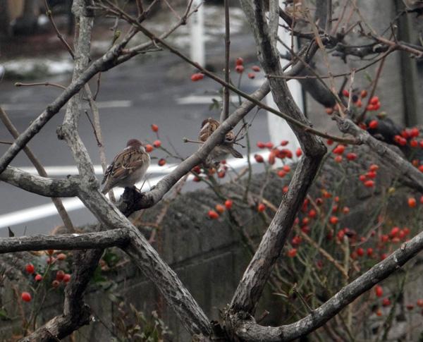 初冬の餌台。ツルバラの実とスズメちゃんなど~~♪_a0136293_16502674.jpg