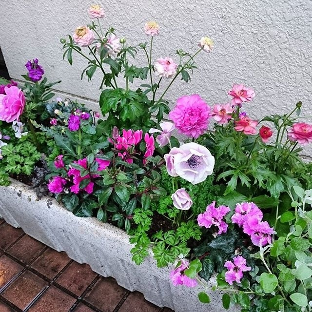 今日の植込み・・・・ラナンキュラス'ラックス' アネモネ、Gardenシクラメン_b0137969_22503561.jpg