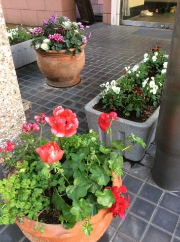 今日の植込み・・・・ラナンキュラス'ラックス' アネモネ、Gardenシクラメン_b0137969_23000509.jpg