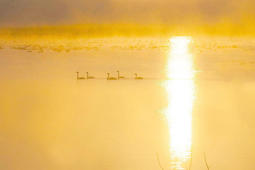 伊豆沼の白鳥、その2_c0077395_12224299.jpg