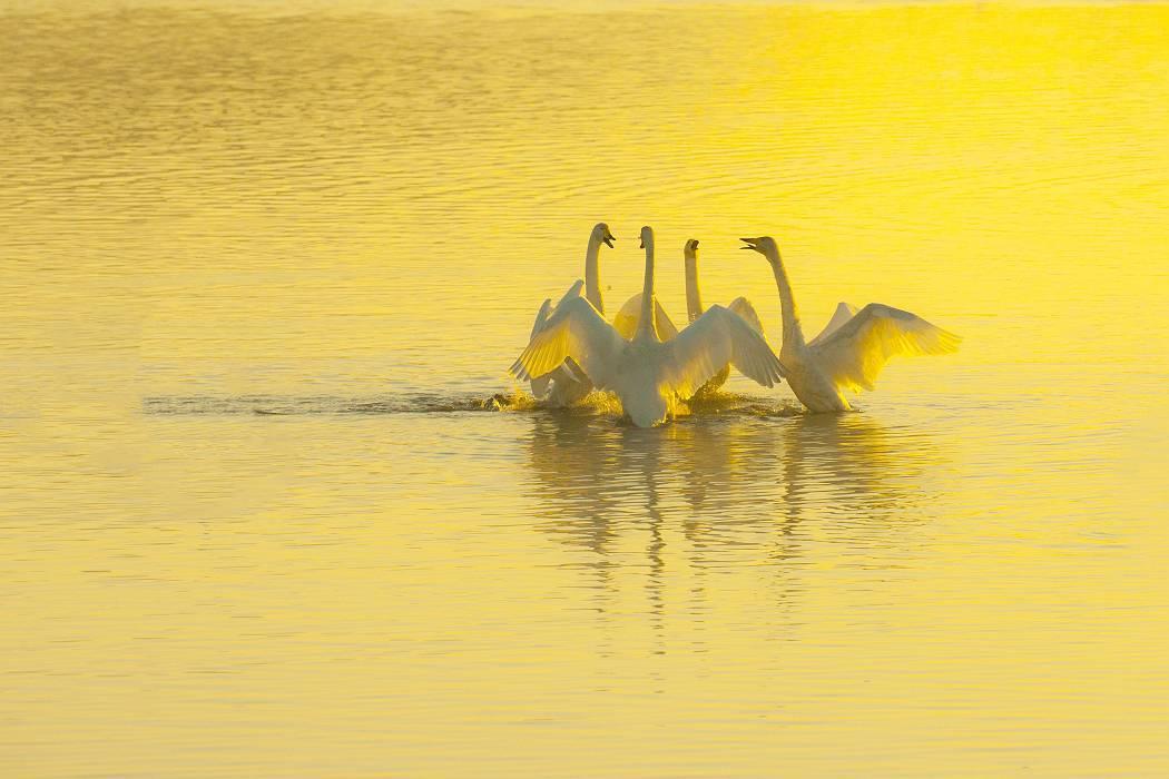 伊豆沼の白鳥、その2_c0077395_13031239.jpg