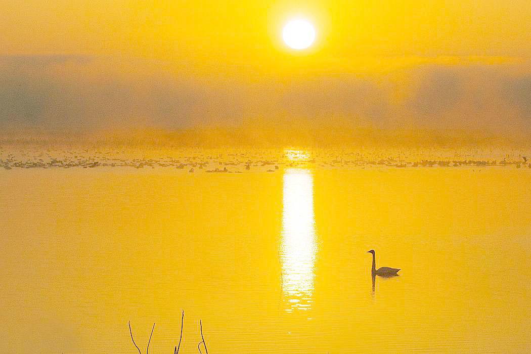 伊豆沼の白鳥、その2_c0077395_18143793.jpg