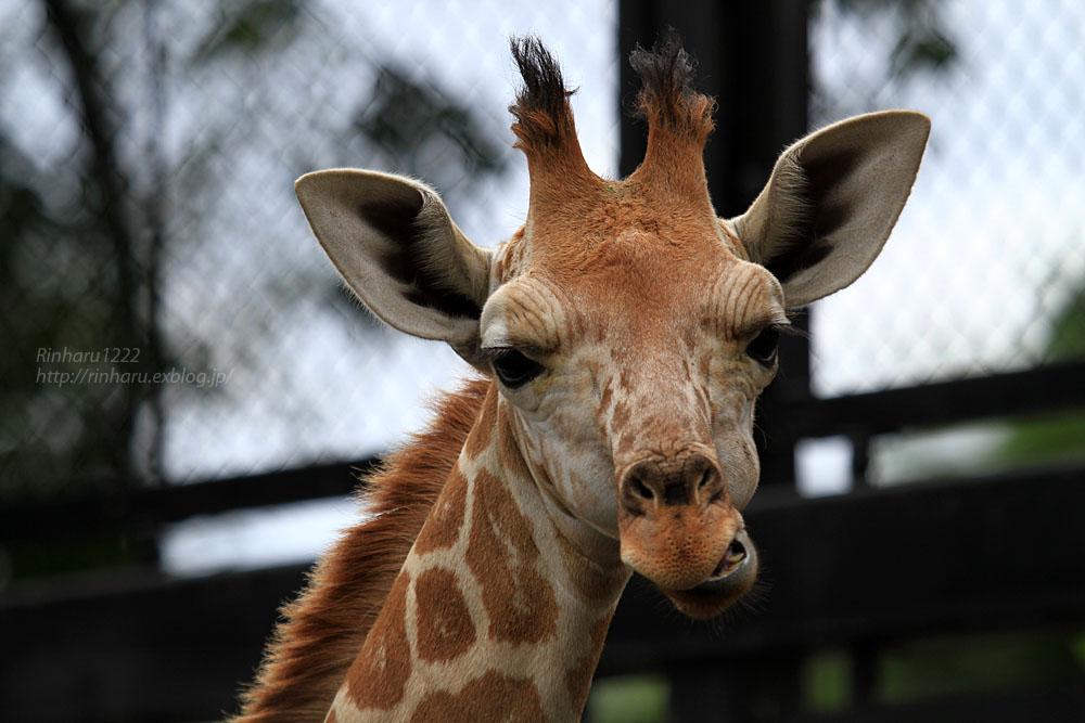 2015.9.26 宇都宮動物園☆キリンのなっちゃん【Giraffe baby】_f0250322_21254756.jpg
