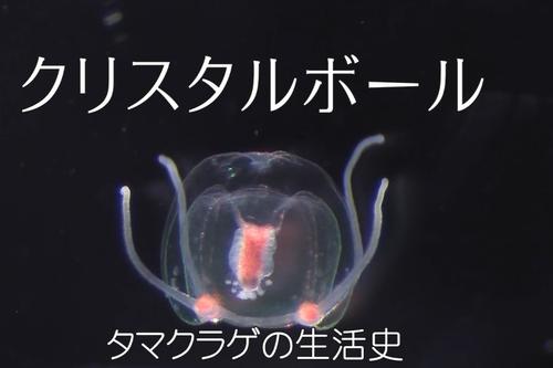 本日は「クリスタルボール タマクラゲの生活史(HD)」をお送りします_b0115553_1010480.png