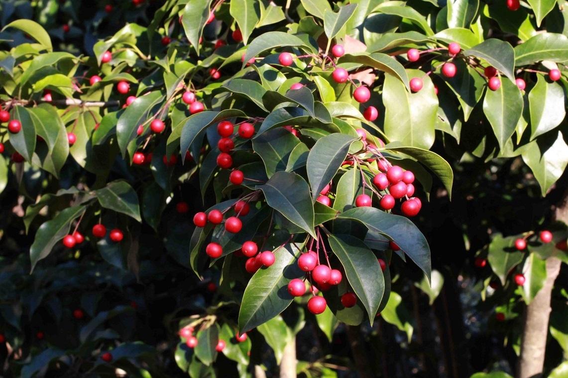 女木と男木 ~ソヨゴの赤い実~_a0107574_00214201.jpg