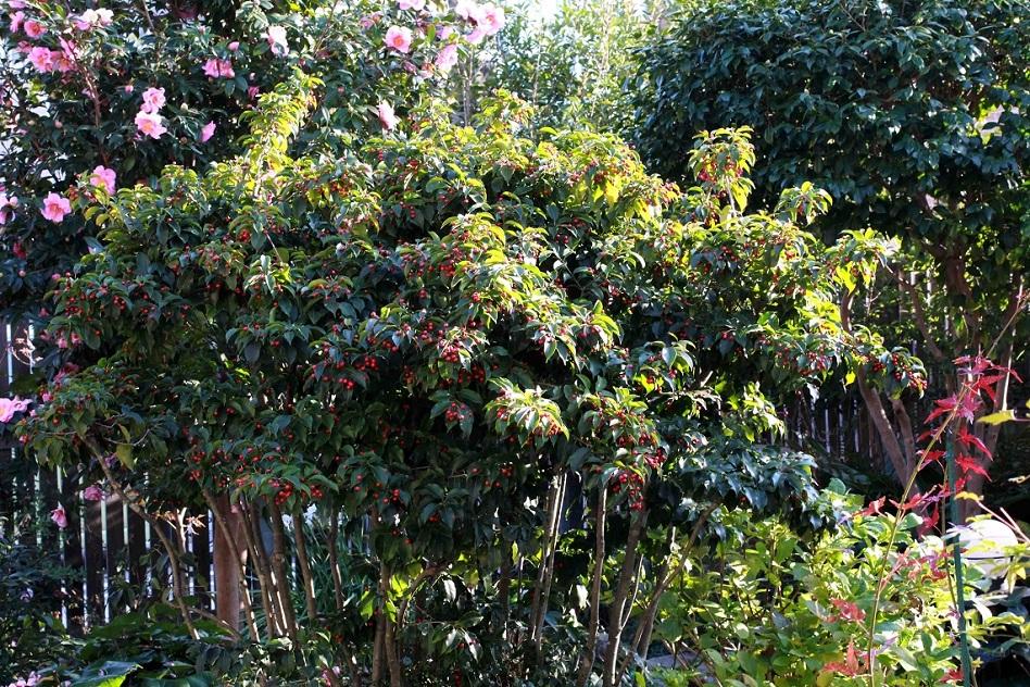 女木と男木 ~ソヨゴの赤い実~_a0107574_00215135.jpg