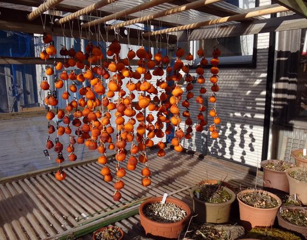 暖かい陽射しと干し柿と、ついでに豆柿(シブ)も~~♪_a0136293_15494345.jpg