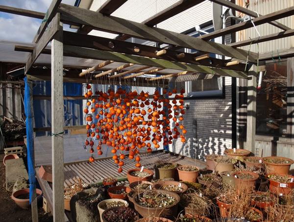 暖かい陽射しと干し柿と、ついでに豆柿(シブ)も~~♪_a0136293_1626356.jpg