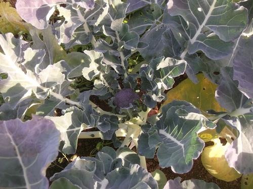 秋野菜はワッサ.わっさと.._b0137932_6244898.jpg