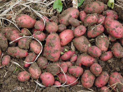秋ジャガ全収穫、サトイモに越冬対策12・10_c0014967_19151960.jpg