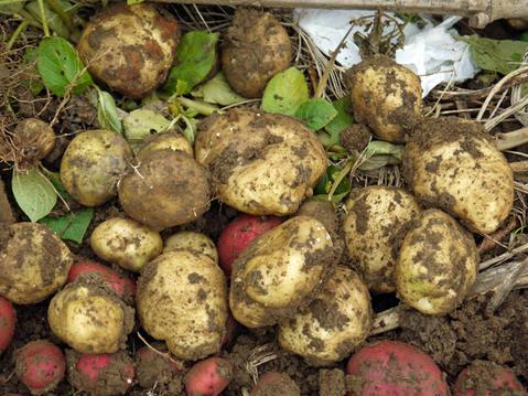 秋ジャガ全収穫、サトイモに越冬対策12・10_c0014967_19153333.jpg