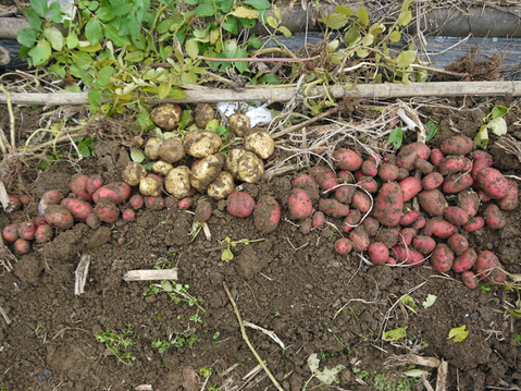 秋ジャガ全収穫、サトイモに越冬対策12・10_c0014967_19154852.jpg