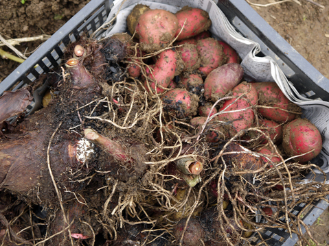 秋ジャガ全収穫、サトイモに越冬対策12・10_c0014967_19162114.jpg