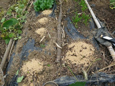 秋ジャガ全収穫、サトイモに越冬対策12・10_c0014967_19174086.jpg