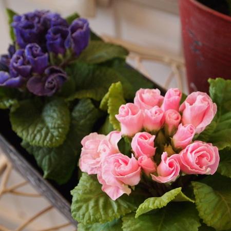 春らしいプリムラ_a0292194_14524874.jpg