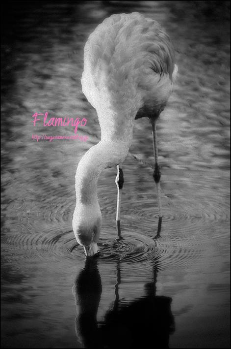 Flamingo_f0100215_20314838.jpg