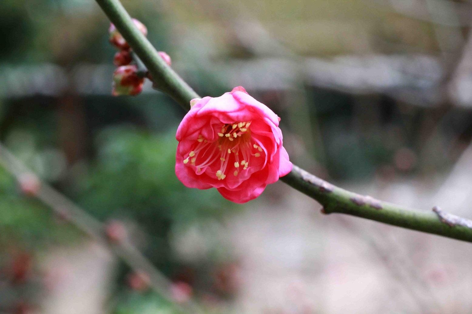 わぁ、咲いてる   ~紅梅~_a0107574_19345850.jpg