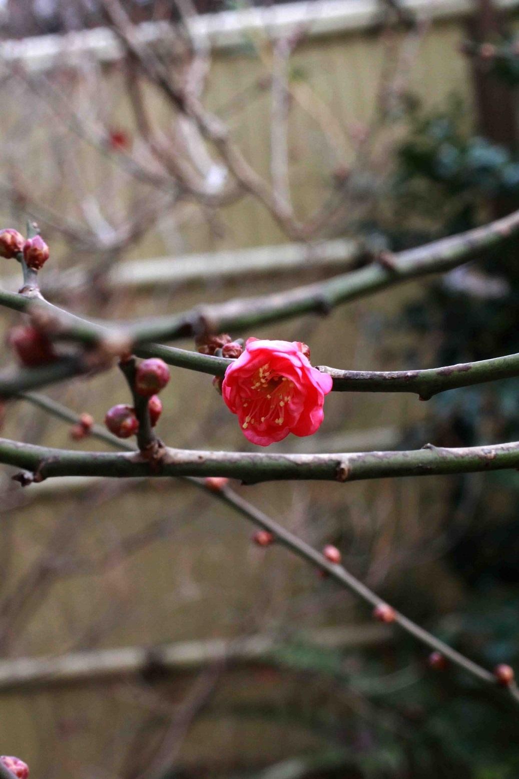 わぁ、咲いてる   ~紅梅~_a0107574_19350915.jpg