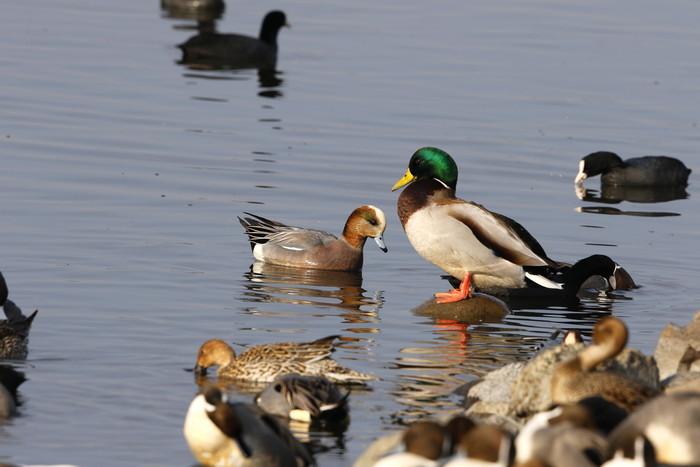 MFの沼にアメリカヒドリ撮りをを目的に_f0239515_19201497.jpg
