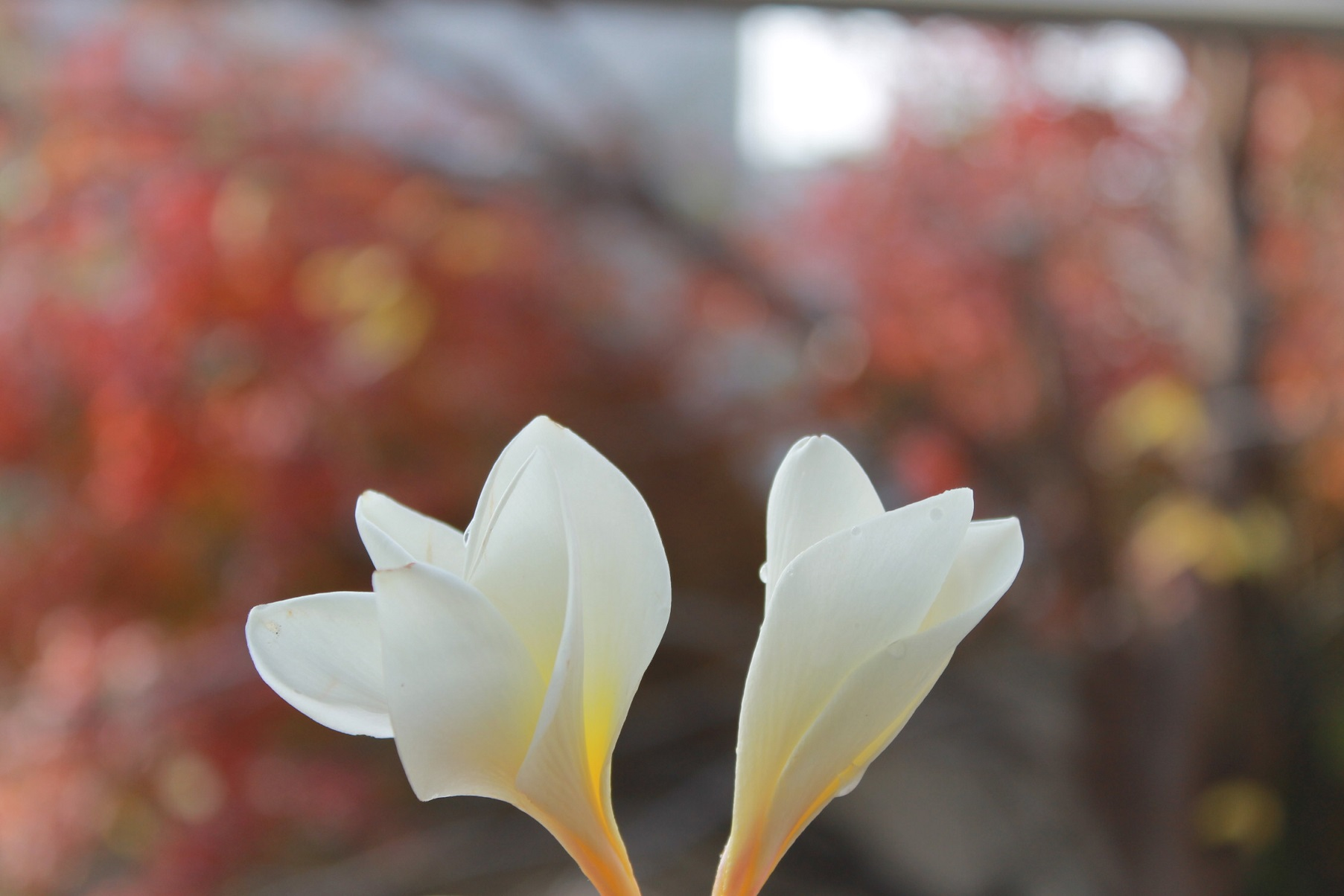 蘭香茶館の季節、_f0070743_10533811.jpg