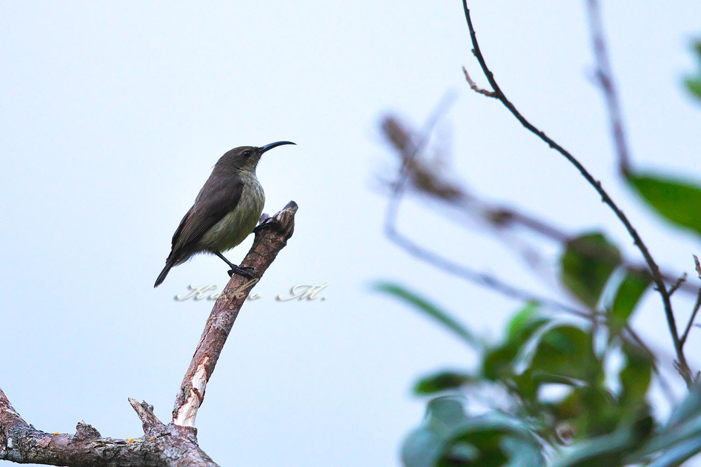 ※マダガスカルタイヨウチョウ♀ Madagascar Green Sunbird _d0013455_10264044.jpg