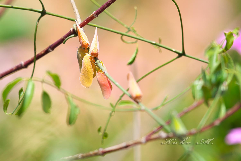 ※マダガスカルハチクイ Madagascar Bee-Eater_d0013455_11543456.jpg