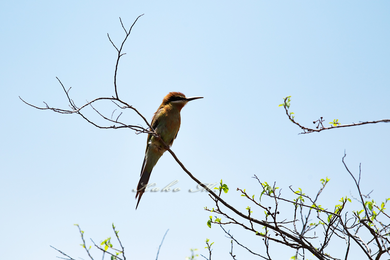 ※マダガスカルハチクイ Madagascar Bee-Eater_d0013455_8594026.jpg