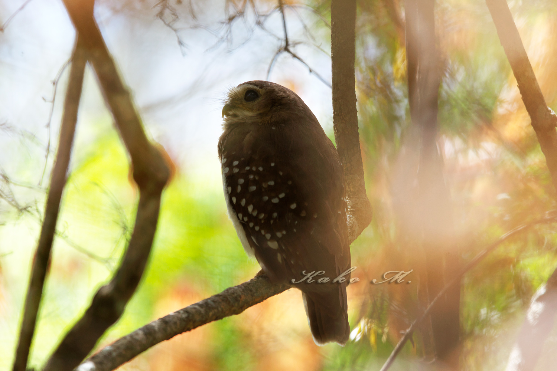 ※マダガスカルアオバズク  White-browed Owl_d0013455_925332.jpg