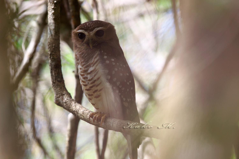※マダガスカルアオバズク  White-browed Owl_d0013455_93992.jpg