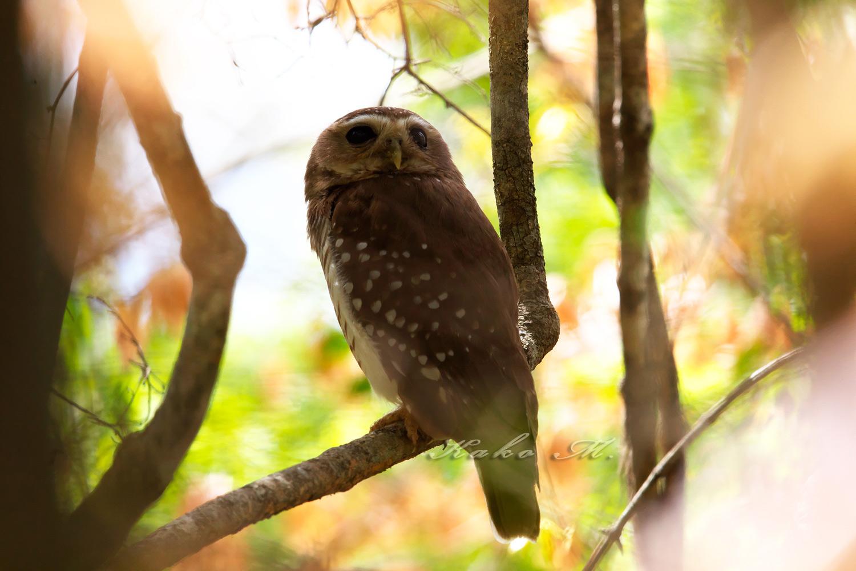 ※マダガスカルアオバズク  White-browed Owl_d0013455_942587.jpg