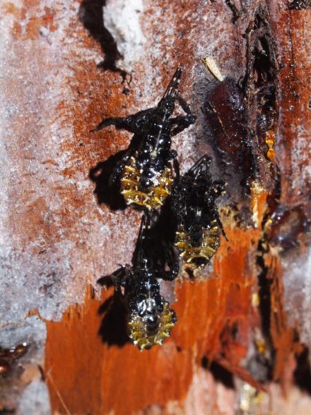 ヤニサシガメの越冬幼虫_b0135573_06523679.jpg