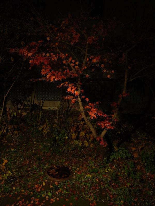 夜のモミジ_e0276411_22492189.jpg