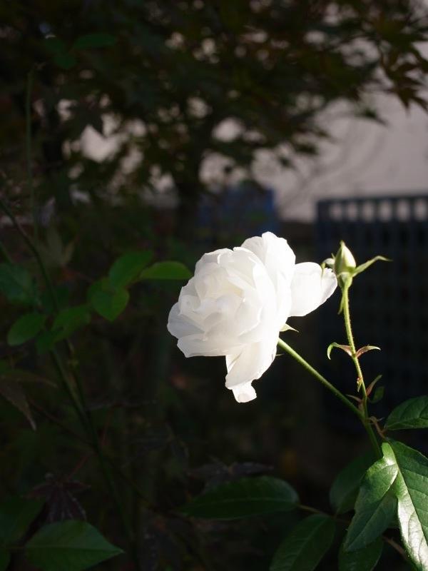 ちょっと前の庭_e0276411_2381989.jpg