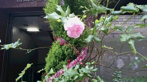 冬に咲くバラ_d0155439_12445710.jpg