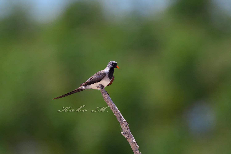 シッポウバト Namaqua Dove_d0013455_1042760.jpg