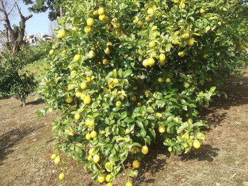 柑橘類..いろいろです。_b0137932_1950137.jpg
