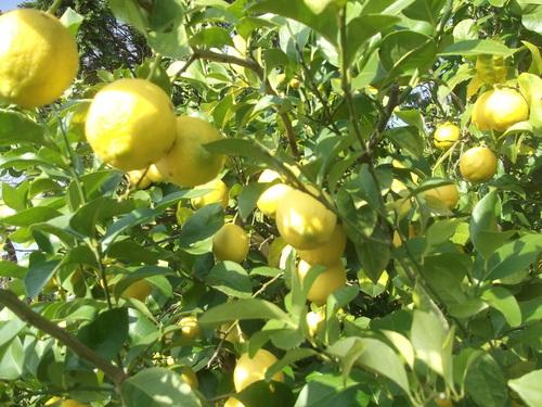 柑橘類..いろいろです。_b0137932_19502968.jpg