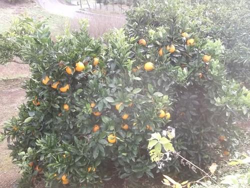 柑橘類..いろいろです。_b0137932_19504914.jpg