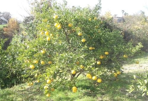 柑橘類..いろいろです。_b0137932_1951519.jpg