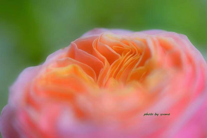 Rose_a0322950_22432072.jpg