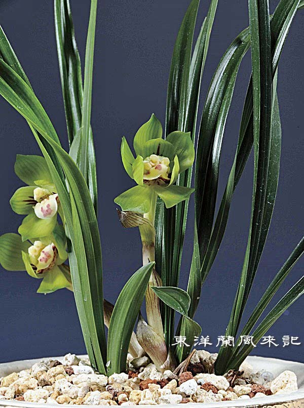 中国春蘭「緑雲」                     No.1674_d0103457_01555913.jpg