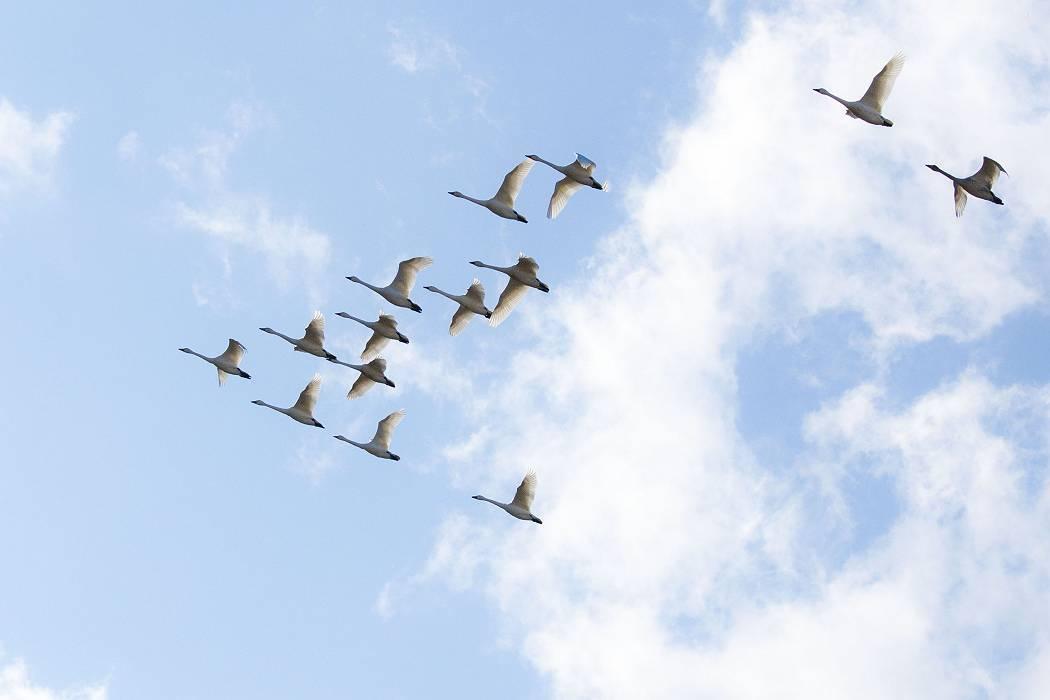 白鳥、その1_c0077395_19132052.jpg