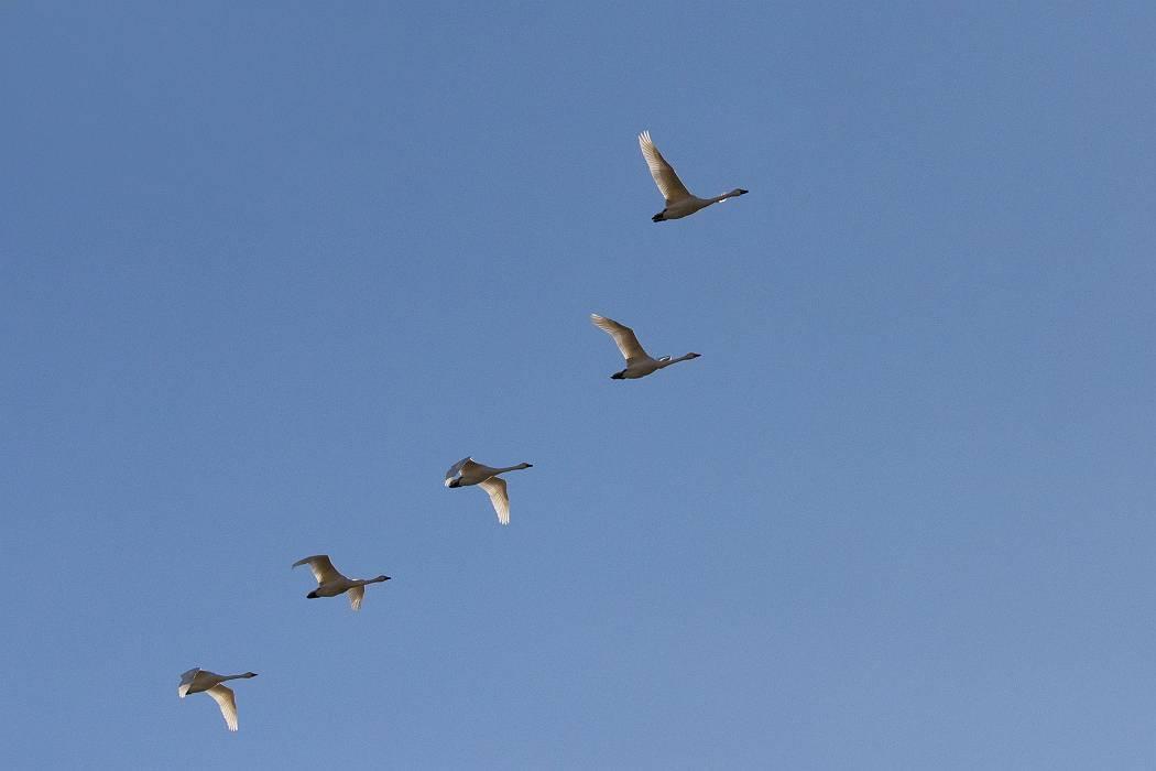 白鳥、その1_c0077395_19133911.jpg