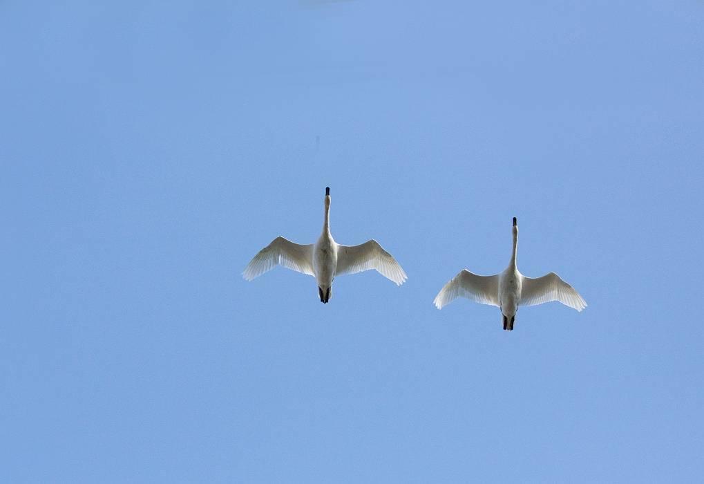 白鳥、その1_c0077395_19141915.jpg