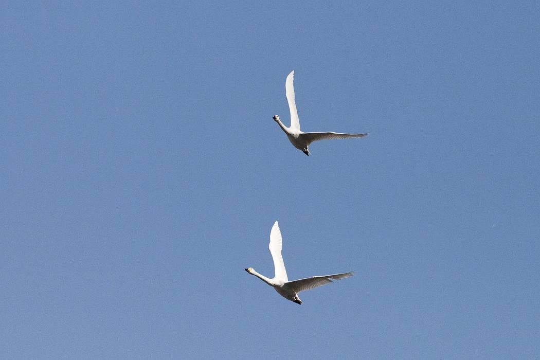 白鳥、その1_c0077395_19165338.jpg