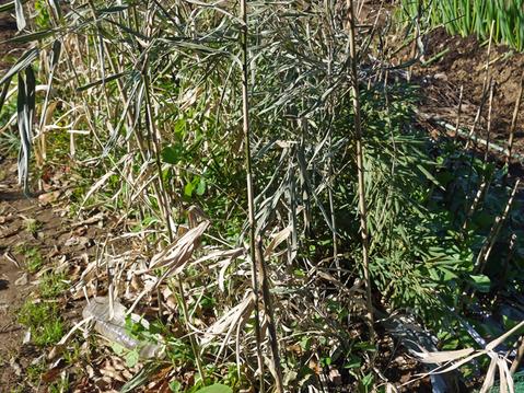 タマネギ、エンドウに寒さ対策、ネギに土寄せ12・12_c0014967_10101857.jpg