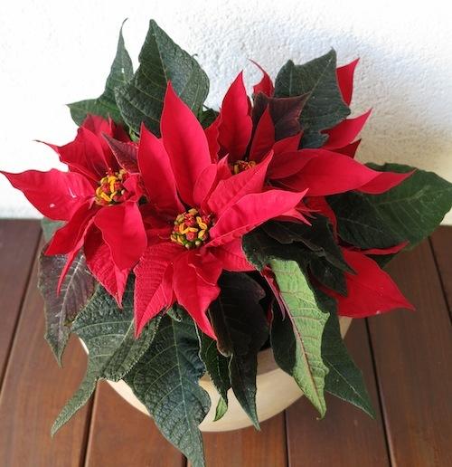 ☆それぞれのクリスマス☆(植物編)_f0324766_16030910.jpg