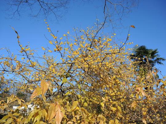 早くもロウバイが咲いていました_e0232277_15354725.jpg
